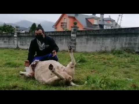 """El ganadero de Celeiro que sufrió el ataque de los lobos a su rebaño: """"Non hai dereito"""""""