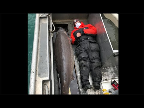 Nearly-7-foot-240-pound-lake-sturgeon-caught-in-Detroit-River-believed-to-be-100-years-old
