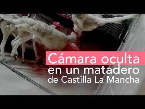 VÍDEO | Una cámara oculta revela el maltrato animal en un matadero de Castilla-La Mancha