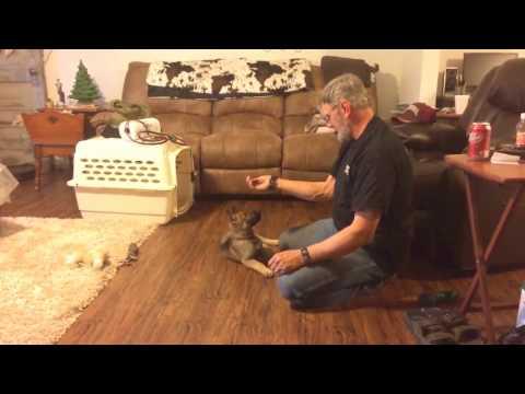 "9 Week German Shepherd Puppy ""Garth"" Obedience Training Dog For Sale"
