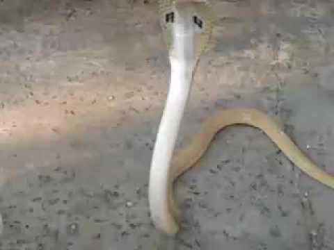 Snake show ... sakhigopal.. puri ... odisha ... india