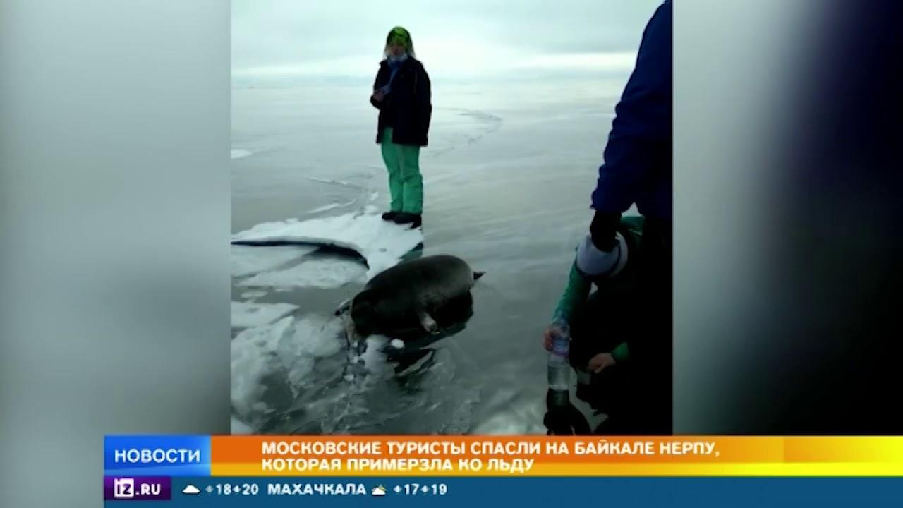 Туристы спасли нерпу, примерзшую ко льду на Байкале