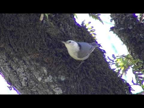 White-breasted Nuthatch male call