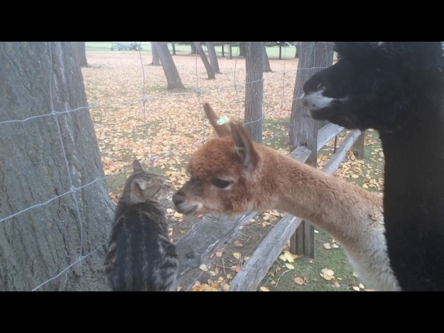 Alpacas try so desperately to win cat over
