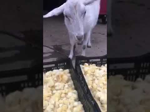 Chinese Goat Eating Alive Little Chicken Youtube