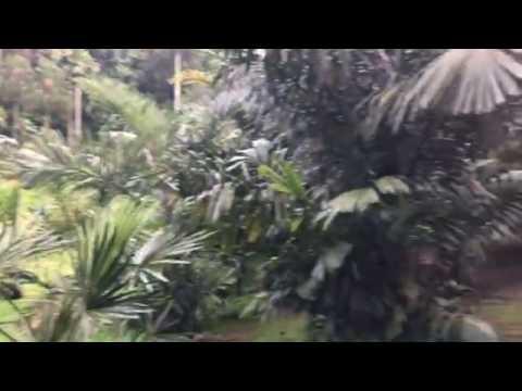 A huge fallen Tembusu tree in the Palm Valley of Botanic Gardens
