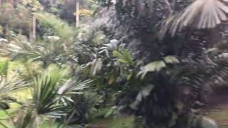 A huge fallen Tembusu tree in the Palm Valley of Botanic Gardens