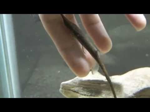 Farlowella Catfish Scraping Woodwork in my Gourami Tank from YouTube · High Definition · Duration:  3 minutes 44 seconds  · 880 views · uploaded on 9/9/2016 · uploaded by Dan Hiteshew