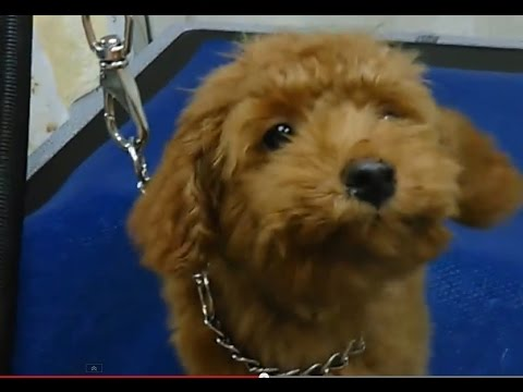 Toy Poodle Puppys First Grooming Youtube