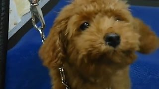 Toy Poodle Puppy's First Grooming