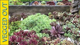 OVER 50 NAMED SEMPERVIVUM VARIETIES HUGE RAISED BED HENS & CHICKS SUCCULENTS COLLECTION