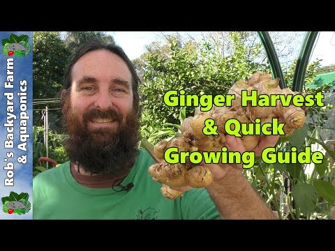Ginger Harvest & Quick Ginger Growing Guide