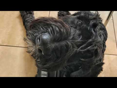 Giant Schnoodle 7mo Riesling~ Best K9 Training Arizona~ Service and Therapy Dog Obedience Training