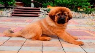 Собаки породы Тибетский мастиф(Тибетский мастиф является одной из древнейших рабочих пород собак, которая была сторожевой собакой в тибет..., 2016-01-25T12:06:06.000Z)