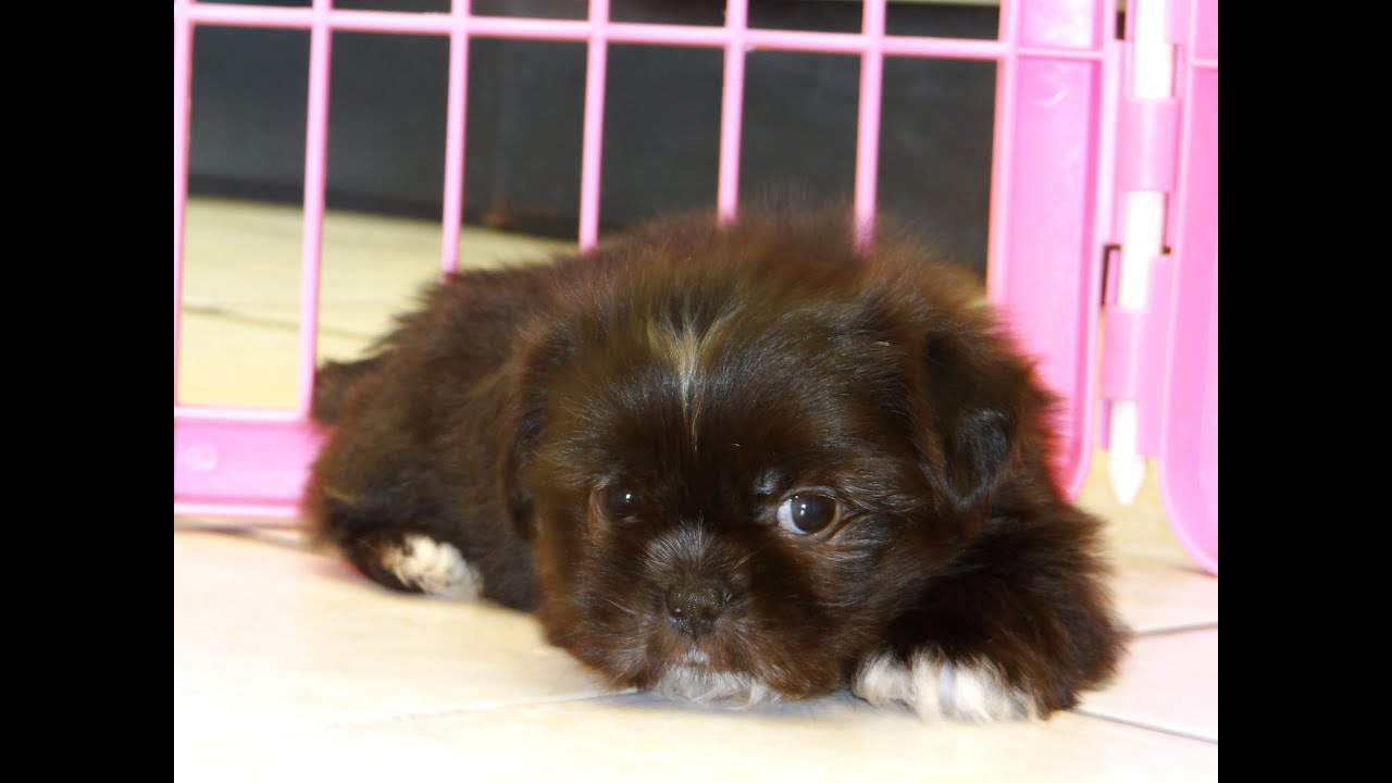 Shih Tzu Puppies Dogs For Sale In Columbus Macon Georgia GA