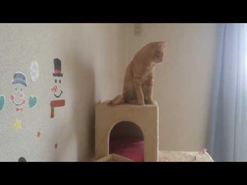 鳴いてる子猫ららが心配なお兄ちゃん猫るる Crying kittens worry about you Brother-chan's cat