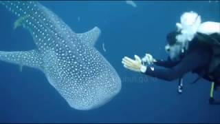 Download Video Whale Shark @ Teluk Cendrawasih National Park - West Papua - Indonesia MP3 3GP MP4
