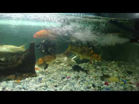 Fish Sitting At The Bottom Of The Tank | Steps To Recover| Inactive Fish|