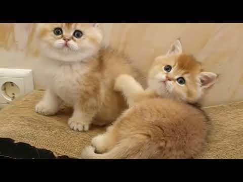 The most beautiful colored cats in the world  Dünyanın en güzel renkli kedileri
