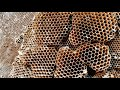 Yellow Jacket SUPER NEST | Wasp Nest Removal | Wasp INFESTATION