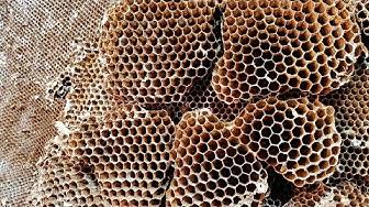 Yellow Jacket SUPER NEST   Wasp Nest Removal   Wasp INFESTATION