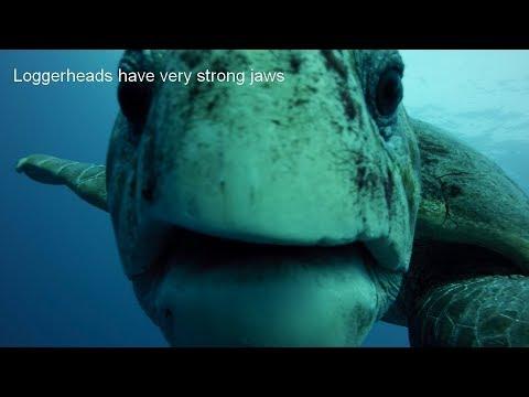 Loggerhead Sea Turtles Facts