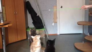 Молодые котята мейн кун 9 месяцев из питомника