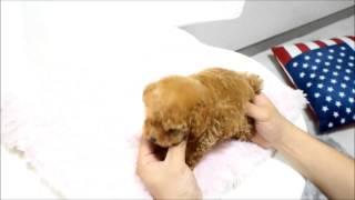 Beautiful Cherry Teacup Poodle For Sale Www.boutiqueteacuppuppies.com