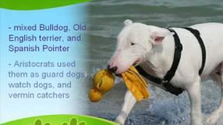 Bull Terrier History