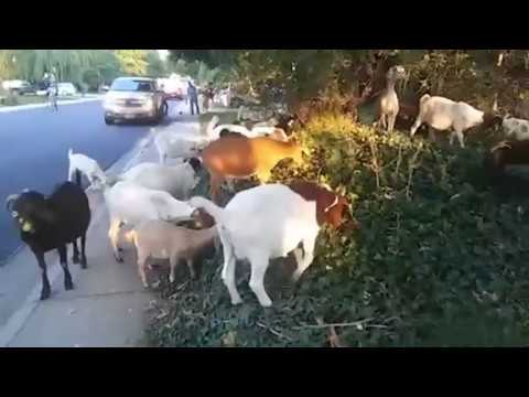 A herd of goats invaded a suburban street in Boise, Idaho, munching on plants and grass and amusing neighbours before they were rounded up. The goats belong to a company that rents them out to eat weeds. (The Associated Press)