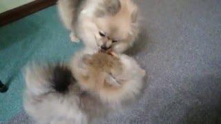 Щенку малого шпица 5 месяцев и его мама Бэтти