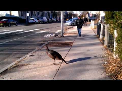 Wild turkey in Central Square, Cambridge, MA