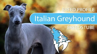 Italian Greyhound Breed, Temperament & Training