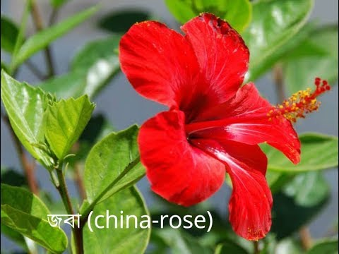 Flowers Name English To Bengali ফলর নম ইরজ ও