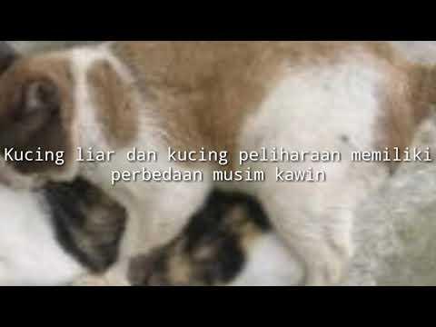 BEGINI CARA NGAWININ KUCING - CHERRY SI KUCING DOYAN KAWIN [ VIDEO KUCING LUCU]