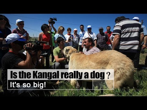 Live: Is the Kangal really a dog? It's so big! 世界上最大的狗-土耳其国宝坎高犬