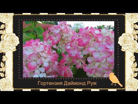 Гортензия Даймонд Руж. Компактная,крупноцветковая красавица.