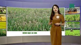 Thời tiết nông vụ 02/08/2019: Cách phòng chống bệnh bạc lá lúa | VTC14