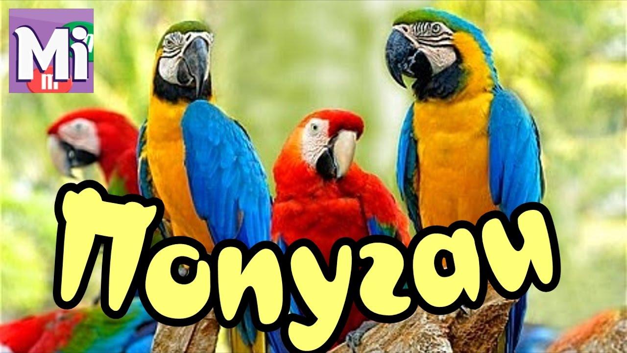 Особенности поведения в тропической африке, на мадагаскаре и на нескольких близлежащих островах обитают попугаи-неразлучники. Так их назвали потому, что считалось, будто в случае гибели одного из пары попугайчиков умирает и другой: от.