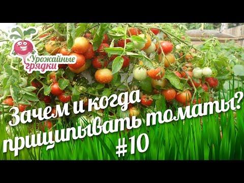 Зачем и когда прищипывать томаты? Часть 10 #urozhainye_gryadki