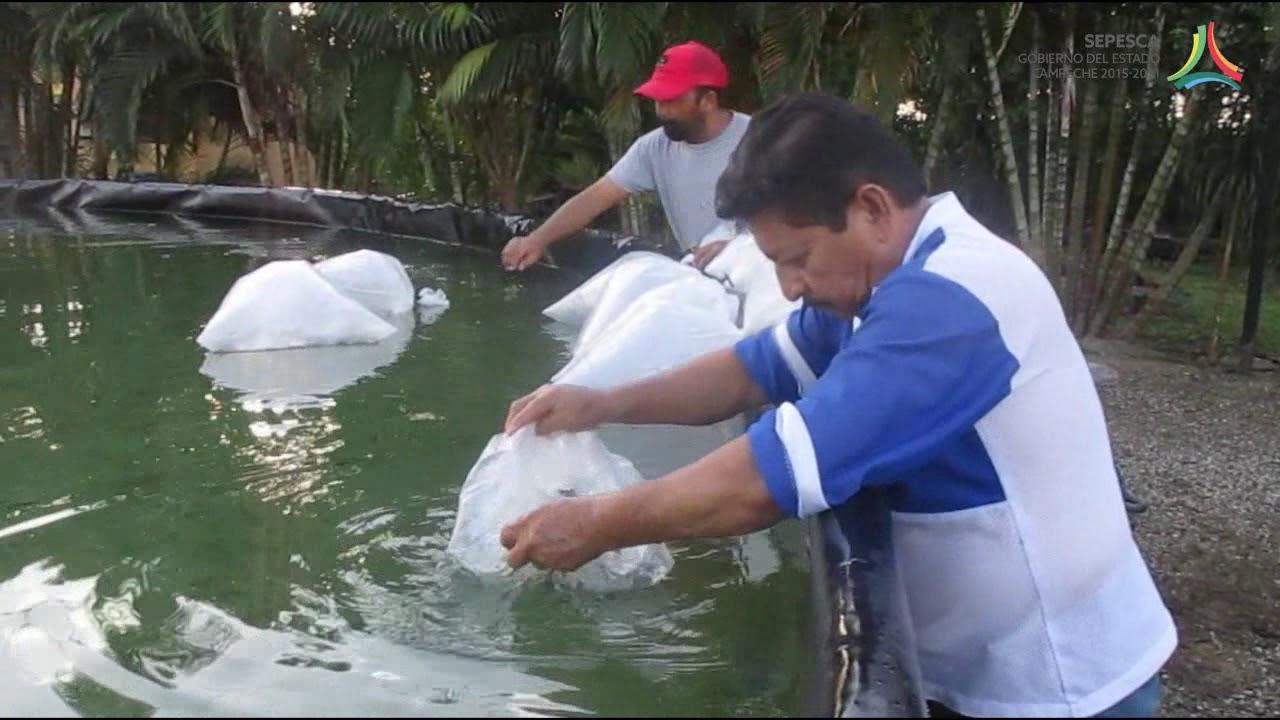 Proceso de aclimataci n y siembra de tilapia youtube for Densidad de siembra de tilapia