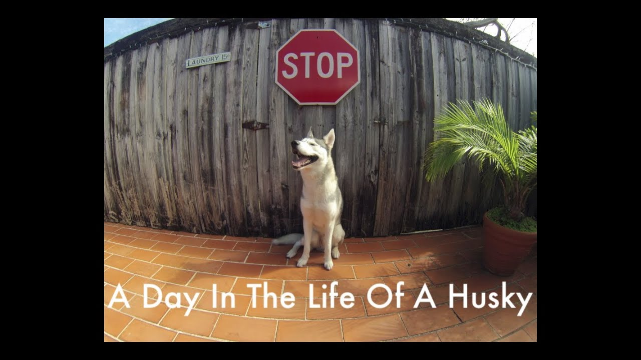 A Day In The Life Of A Husky (HD)