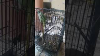 Talking raw parrot 03459442750 Zain Ali Farming in Pakistan