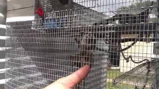 Baby marmoset Monkey Breeder in St.Petersburg,Fla.