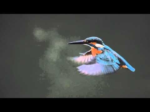 Flying kingfisher