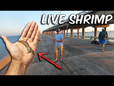 Pier Fishing With Live Shrimp Produces FIRE Bite! (Catch & Cook)