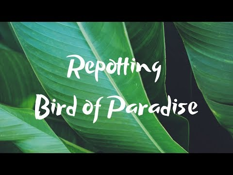 Repot With Me! | Bird Of Paradise Repotting | Strelitzia Nicolai