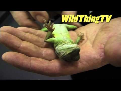 Animal wrangler Trevor Smith hypnotises lizard - Wild Thing season one