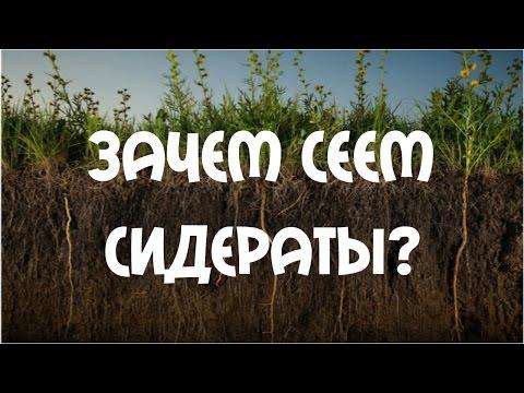 видео: Зачем сеем сидераты? Сидераты - белая горчица.