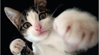 Смешные коты и кошки. Прикольные видео #7 / 2015(Хочешь заработать дополнительно со своего канала?http://goo.gl/ikT4Ht Прикольные кошки и коты. Подборка смешные..., 2015-08-24T14:49:46.000Z)